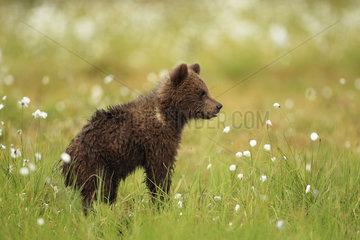 Brown Bear (Ursus arctos)  Bear cub in a peat bog  Finland