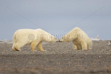 Polar Bear( Ursus maritimus ) conflict cubs along a barrier island outside Kaktovik  Every fall  polar bears (Ursus maritimus) gather near Kaktovik on the northern edge of ANWR  Barter Island  Arctic National Wildlife Refuge  Alaska
