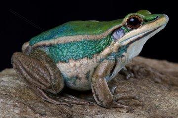 Common green frog (Hylarana erythraea)