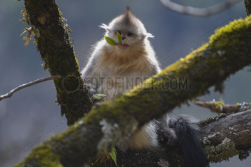 Black Snub-nosed Monkey (Rhinopithecus bieti) juvenile with a leaf in the mouth  Yunnan  China