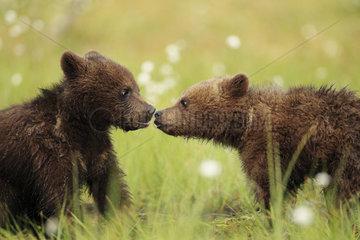 Brown Bear (Ursus arctos)  Bear cubs kissing in a peat bog  Finland