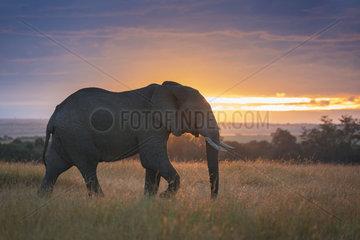 A bull Elephant (Loxodonta africana) crosses the valley in the Maasai Mara  Kenya.