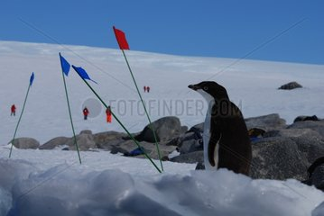 Young Adelie penguin among touristic flags in Antarctica