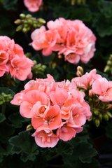 Pelargonium 'Tango Montevideo' in bloom in a garden