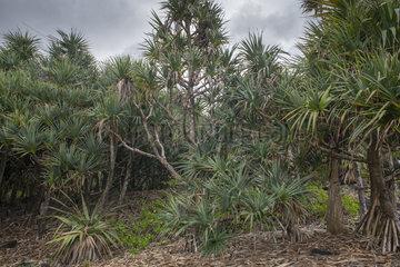 Common screwpine (Pandanus utilis)  Reunion island