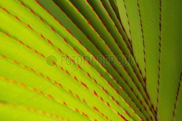 Common screwpine (Pandanus utilis) details  Reunion Island
