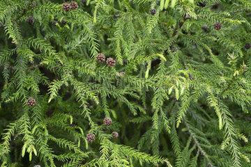 Japanese cedar (Cryptomeria japonica)  Forest of Belouve  Reunion Island