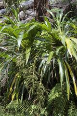 Cordyline (Cordyline mauritiana)  Belouve forest  Reunion island