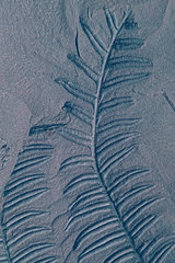 Fossil coal Seed fern (Alethopteris decurrens). Plant fossil of the North Mining Basin  Pas-de-Calais. Carboniferous. Museum of Natural History and Geology of Lille  Nord  France