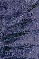 Fossil coal Seed fern (Alethopteris serlii). Plant fossil of the North Mining Basin  Pas-de-Calais. Carboniferous. Museum of Natural History and Geology of Lille  Nord  France