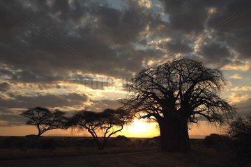 Baobab and sunset Tarangire NP Tanzania
