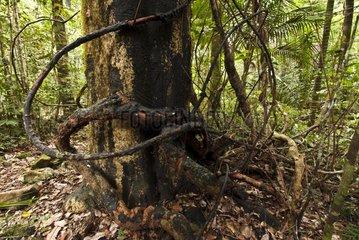 Lianas and trunk Mahogany Mount Koghis New Caledonia