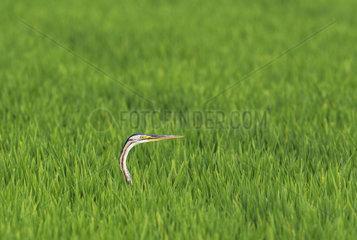 Purple Heron (Ardea purpurea). Hunting in a rice field (Oryza sativa). Environs of the Ebro Delta Nature Reserve  Tarragona province  Catalonia  Spain.