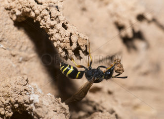 Eumenid wasp (Odynerus spinipes) female building her aerial gallery  Regional Natural Park of Vosges du Nord  France