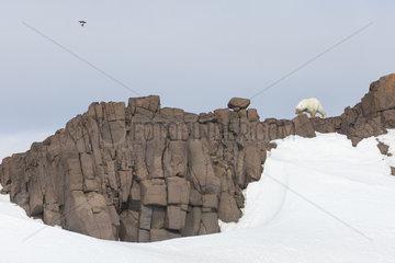 Polar bear (Ursus maritimus) female on rock  Spitsbergen  Svalbard.
