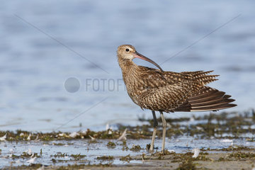 Eurasian Curlew (Numenius arquata) Adult male smoothing feathers after bathing at the edge of a pond  September  South Finistère  France