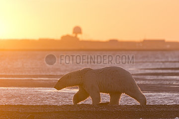 Polar Bear( Ursus maritimus ) walking along a barrier island outside Kaktovik  Every fall  polar bears (Ursus maritimus) gather near Kaktovik on the northern edge of ANWR  Barter Island  Arctic National Wildlife Refuge  Alaska