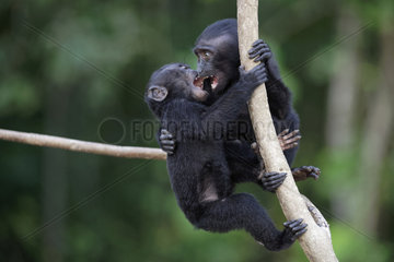 Young Celebes crested macaques (Macaca nigra) on a branch  Tangkoko National Park  Sulawesi  Indonesia