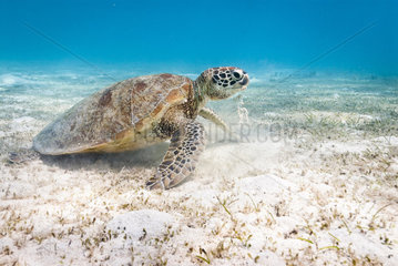 Green turtle (Chelonia mydas) feeding on algae. South lagoon. New Caledonia.