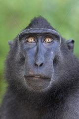 Portrait of Celebes crested macaque (Macaca nigra)  Tangkoko National Park  Sulawesi  Indonesia