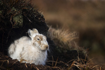 A tired Mountain Hare (Lepus timidus) rests in a peat grough in the Peak District National Park  UK.