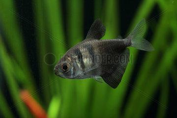 Black tetra (Gymnocorymbus ternetzi)  profile fish in aquarium