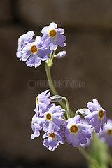 Primrose (Primula zambalensis) flowers  Himalaya  Yunnan  Chine