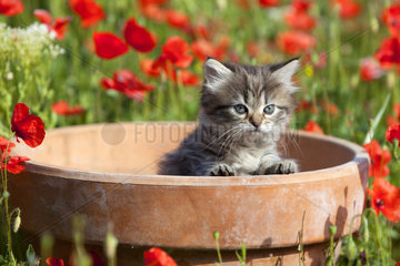 Kitten in a pot surrounded by poppies
