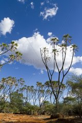 Doum palm trees in the Meru National Park Kenya