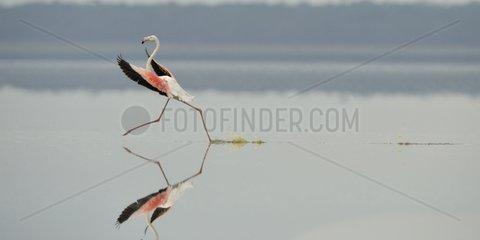 Greater Flamingo landing on Lake Nakuru Kenya