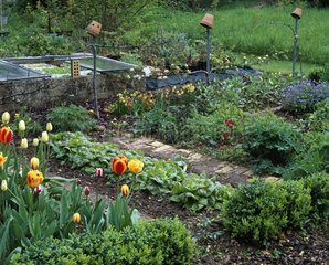 Tulips in bloom in a kitchen garden