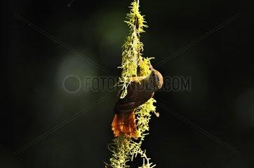 Ruddy Treerunner hanging on a liane in Costa Rica