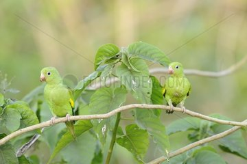 Yellow-chevroned Parakeets on a branch Pantanal Brazil