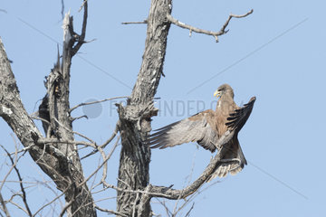 Yellow-billed kite (Milvus aegyptius)  perched on a tree  open the wings in the air  Central Kalahari Game Reserve  Bostwana