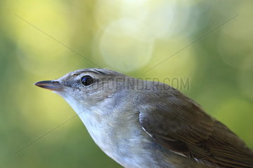 Portrait of Garden Warbler (Sylvia borin)