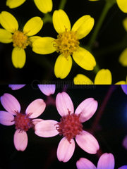 Yellow flowers. Above photographed with daylight and bellow showing fluorescent colours when photographed under ultraviolet light with a Baader-U Filter. This filter enables imaging in the deep UV spectral region. Some flowers have patterns that are only visible under ultraviolet light. Those surprising patterns can only be seen by the insects. While pollinating insects can see these patterns perfectly to find the nectar and pollen  the human eye cannot without some help of special photography. Portugal