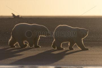 Polar Bear( Ursus maritimus ) two cubs walking along a barrier island outside Kaktovik  Every fall  polar bears (Ursus maritimus) gather near Kaktovik on the northern edge of ANWR  Barter Island  Arctic National Wildlife Refuge  Alaska