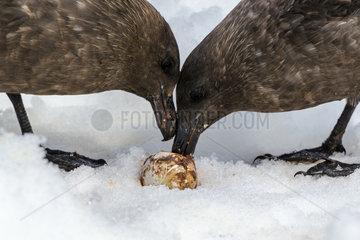 Brown Skua (Catharacta antarctica) and Gentoo Penguin Egg (Pygoscelis papua)  Antarctica