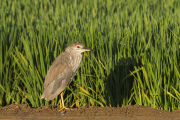 Black-crowned Night Heron (Nycticorax nycticorax). Juvenile. At a low bank of earth between rice fields (Oryza sativa). Environs of the Ebro Delta Nature Reserve  Tarragona province  Catalonia  Spain.