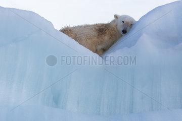 Polar bear (Ursus maritimus) resting on an iceberg  Wahlenbergfjord  Nordaustlandet  Spitzberg  Svalbard.
