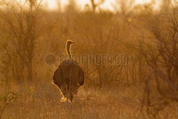 African Ostrich Struthio camelus at dusk  Kruger National park  South Africa