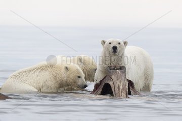 Polar Bear( Ursus maritimus ) near by the bones pile  carcass of Bow whales hunt by the villagers  along a barrier island outside Kaktovik  Every fall  polar bears (Ursus maritimus) gather near Kaktovik on the northern edge of ANWR  Arctic National Wildlife Refuge  Alaska