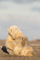 Polar Bear( Ursus maritimus ) grooming  along a barrier island outside Kaktovik  Every fall  polar bears (Ursus maritimus) gather near Kaktovik on the northern edge of ANWR  Barter Island  Arctic National Wildlife Refuge  Alaska