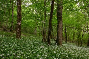 Ramsons flowers bloom undergrowth Champagne France