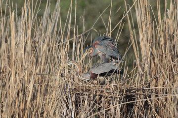 Purple Heron (Ardea purpurea) mating in reedbed  Germany