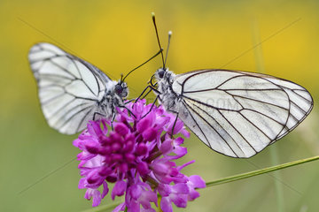 Black-veined White (Aporia crataegi) on flower  France