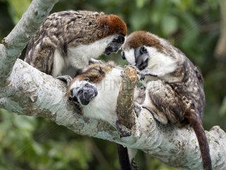 Geoffroy's Tamarin (Saguinus geoffroyi)  family group in mutual grooming  Gamboa  Panama