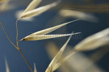 Wild oats (Avena fatua)  envelope of the spikelet  Cap Negre  Six Fours les Plages  Var  France
