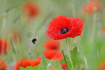 Bumblebee (Bombus sp) in flight and Poppy (Papaver rhoeas) in bloom in spring  France