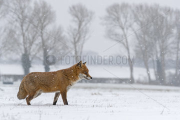 Red fox (Vulpes vulpes) standing in the snow  England